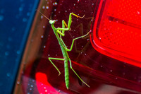 Praying Mantis on Tail Light